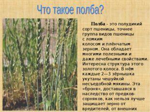 Полба- это полудикий сорт пшеницы, точнее группа видов пшеницы сломким кол