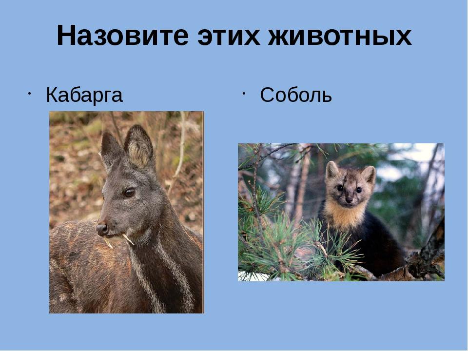 Назовите этих животных Кабарга Соболь