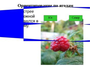 Ориентирование по ягодам Ягоды быстрее краснеют с южной стороны и тянутся в э