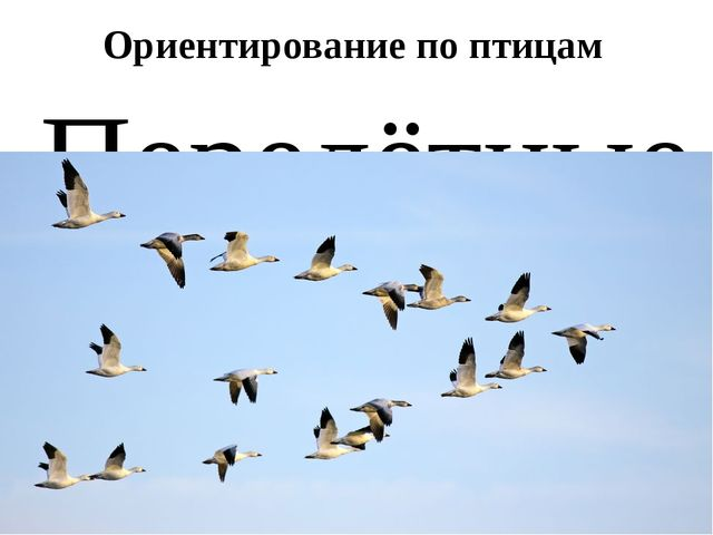 Ориентирование по птицам Перелётные птицы весной летят на СЕВЕР, а осенью на ЮГ