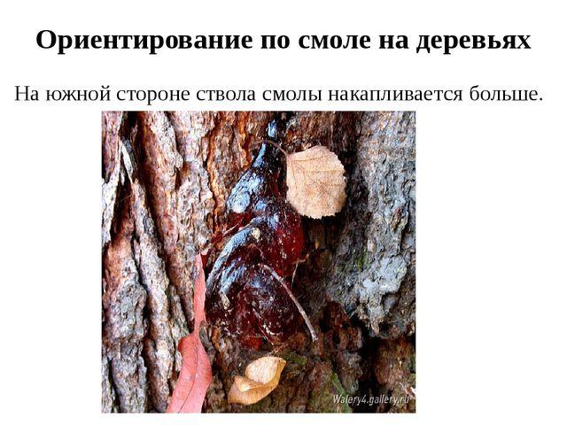 Ориентирование по смоле на деревьях На южной стороне ствола смолы накапливает...