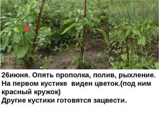 26июня. Опять прополка, полив, рыхление. На первом кустике виден цветок.(под