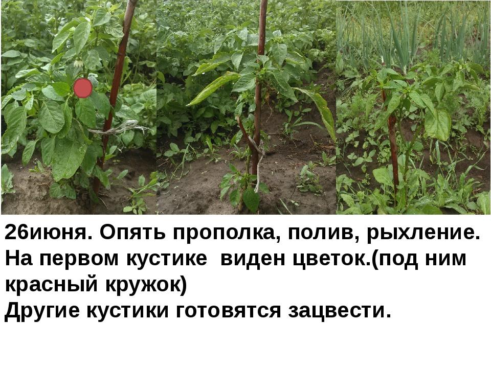 26июня. Опять прополка, полив, рыхление. На первом кустике виден цветок.(под...