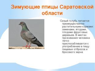 Зимующие птицы Саратовской области Сизый голубь питается преимущественно раст