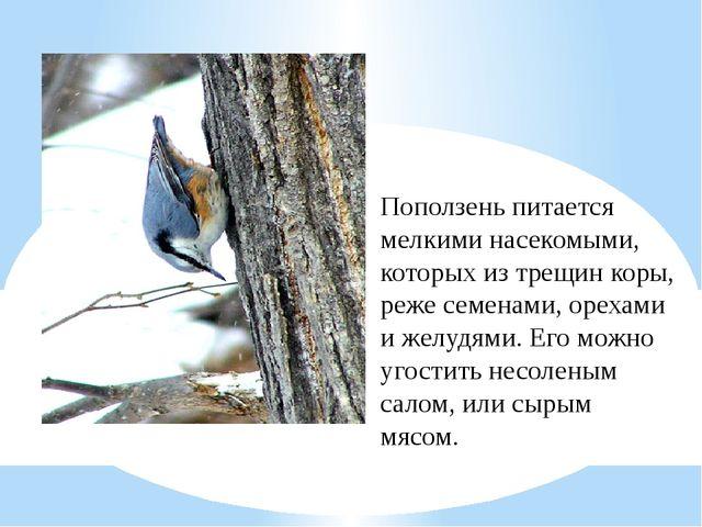 Поползень питается мелкими насекомыми, которых из трещин коры, реже семенами,...