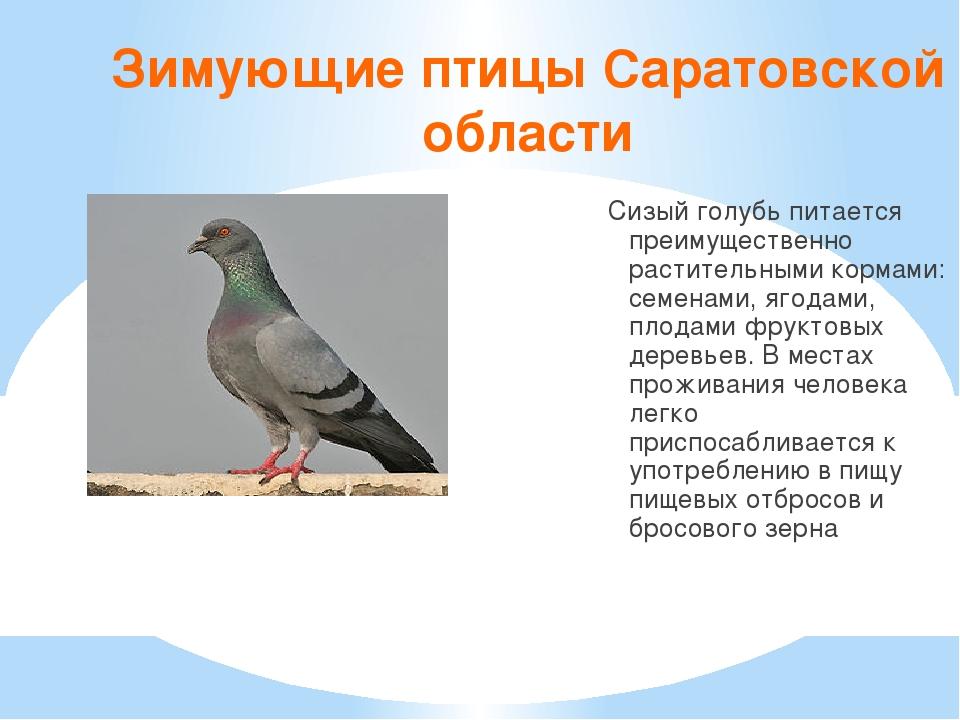 Зимующие птицы Саратовской области Сизый голубь питается преимущественно раст...