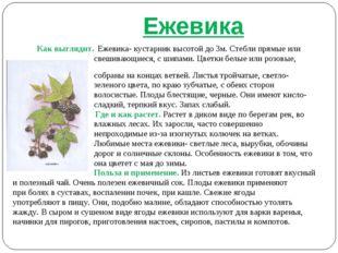 Ежевика Как выглядит. Ежевика- кустарник высотой до 3м. Стебли прямые или св