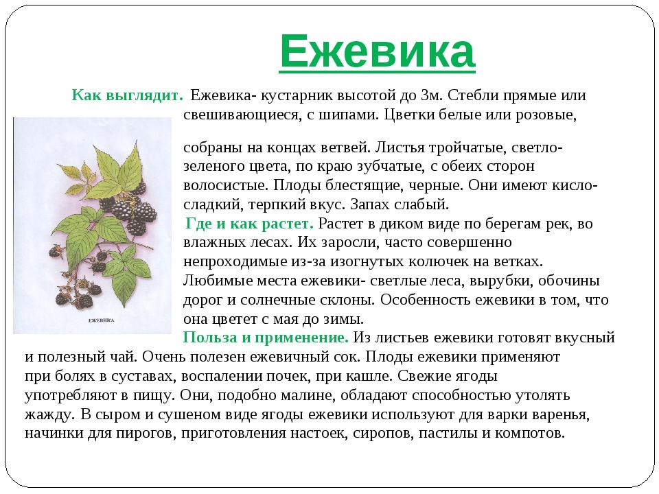 Ежевика Как выглядит. Ежевика- кустарник высотой до 3м. Стебли прямые или св...