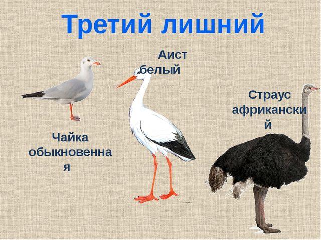 Третий лишний Чайка обыкновенная Аист белый Страус африканский