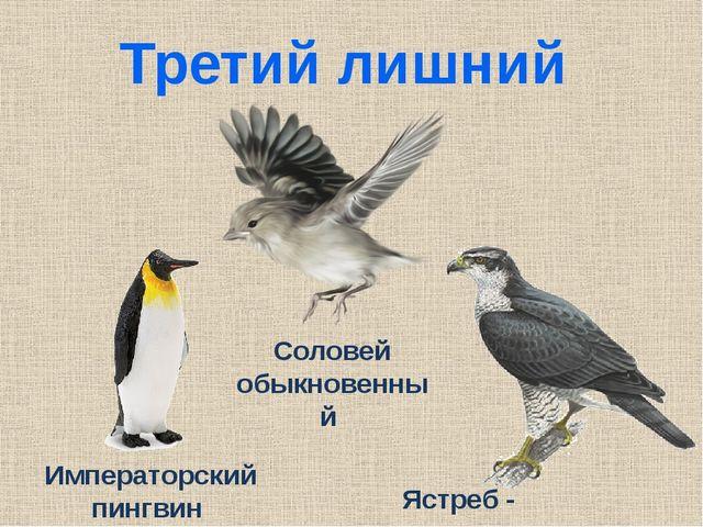 Третий лишний Ястреб - тетеревятник Императорский пингвин Соловей обыкновенный