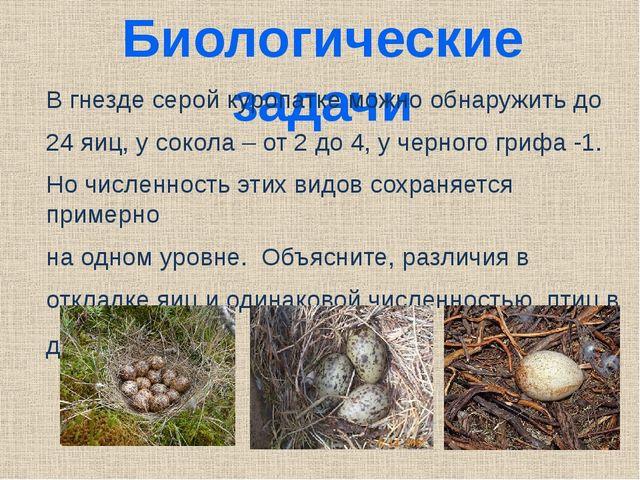 Биологические задачи В гнезде серой куропатке можно обнаружить до 24 яиц, у с...