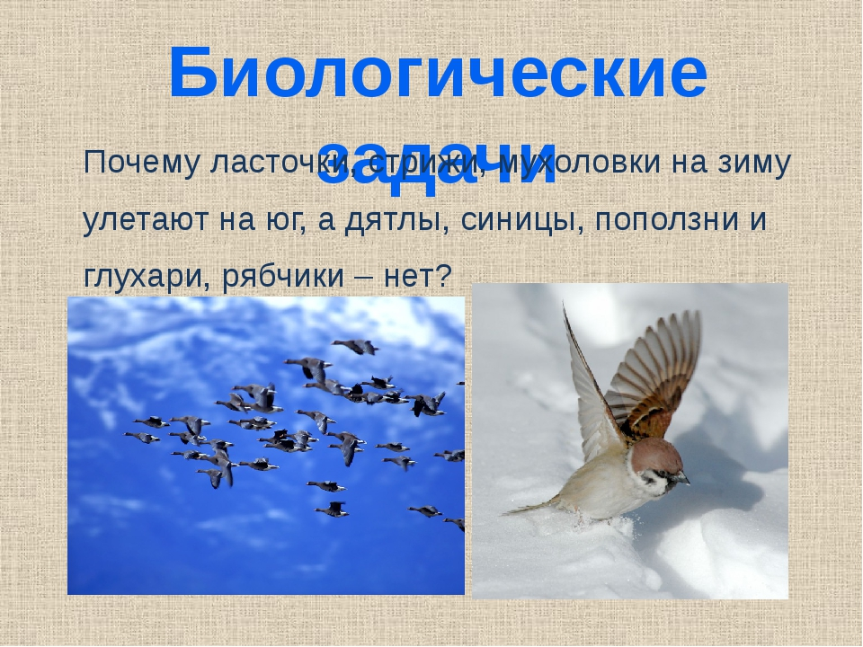 Биологические задачи Почему ласточки, стрижи, мухоловки на зиму улетают на юг...