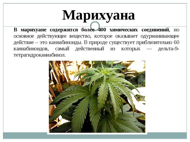 Марихуана В марихуане содержится более 400 химических соединений, но основное...