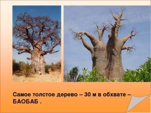 Самое толстое дерево – 30 м в обхвате – БАОБАБ .
