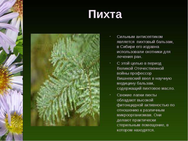 Пихта Сильным антисептиком является пихтовый бальзам, в Сибири его издавна ис...