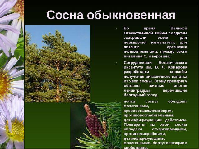 Сосна обыкновенная Во время Великой Отечественной войны солдатам заваривали х...