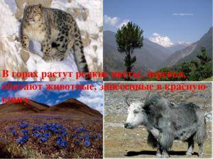 В горах растут редкие цветы, деревья, обитают животные, занесенные в красную