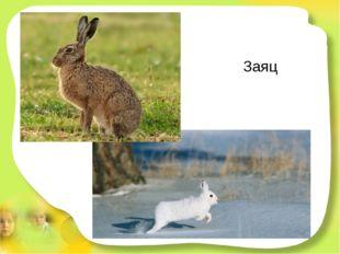 Заяц У него большие уши,коротышка - круглый хвост. Любит он капусту кушать,