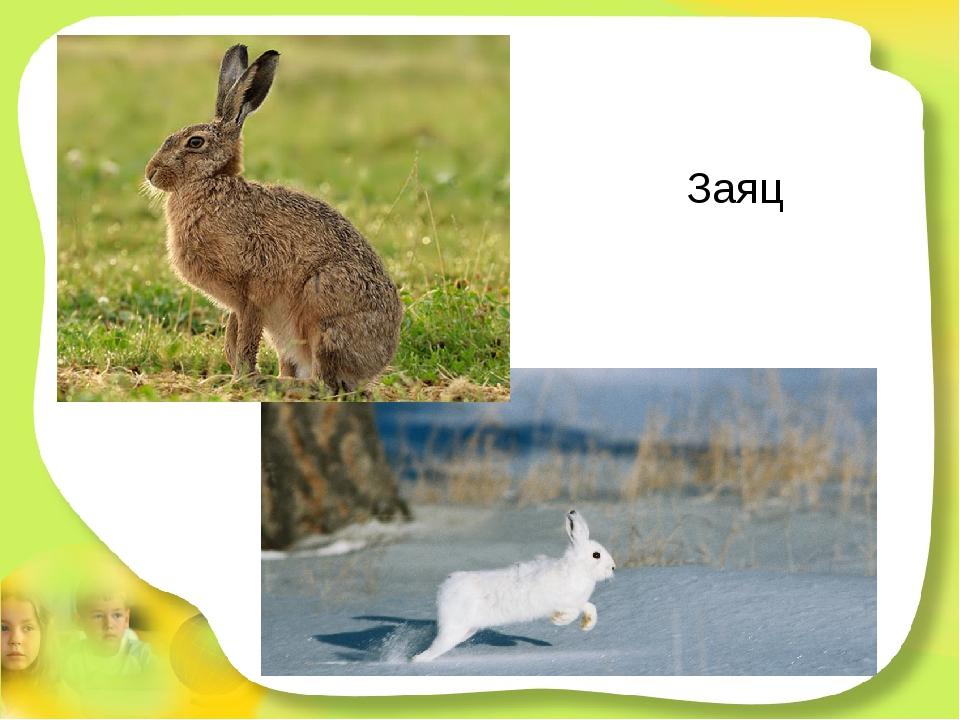 Заяц У него большие уши,коротышка - круглый хвост. Любит он капусту кушать,...