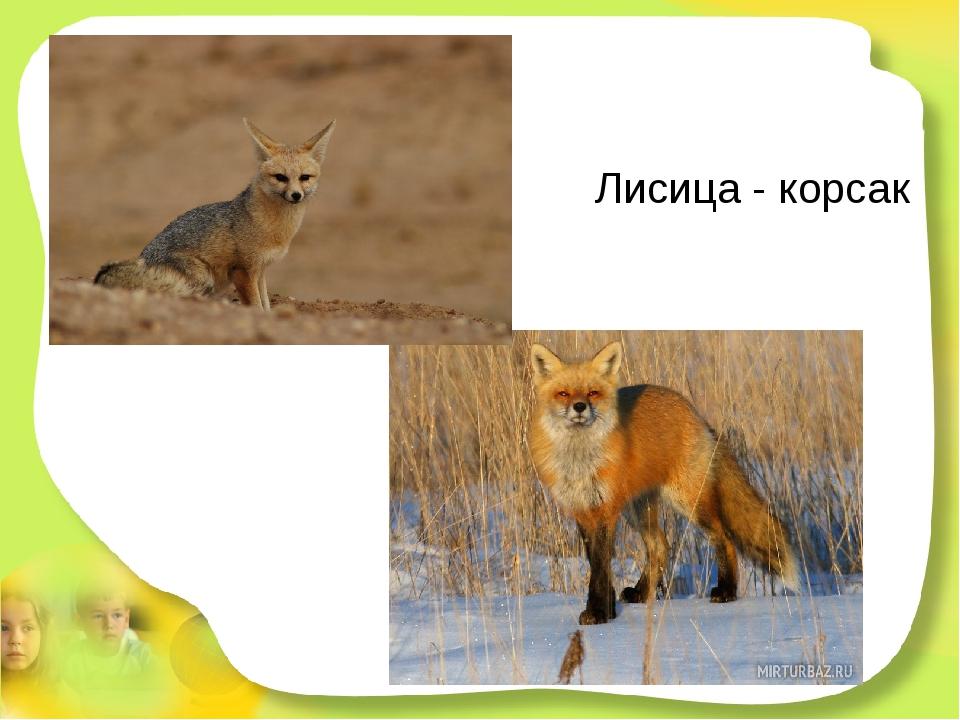 Лисица - корсак Эта рыжая плутовка ловит мышек в поле ловко. Хоть похожа на с...