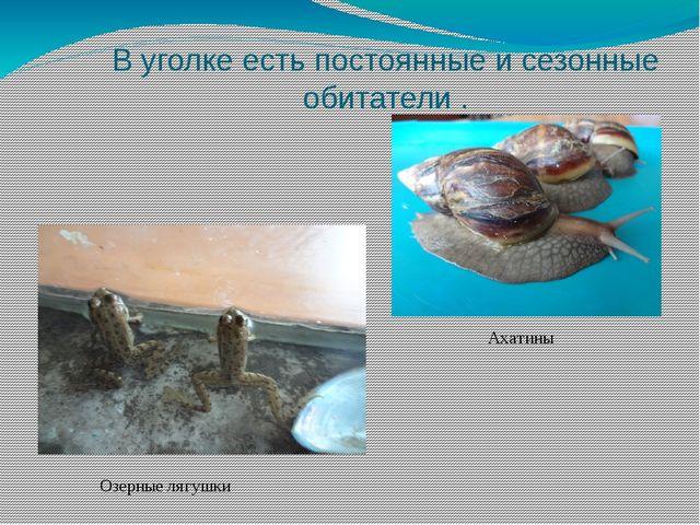 В уголке есть постоянные и сезонные обитатели . Ахатины Озерные лягушки