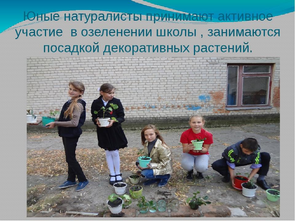 Юные натуралисты принимают активное участие в озеленении школы , занимаются п...