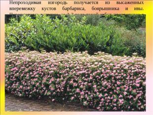Непроходимая изгородь получается из высаженных вперемежку кустов барбариса, б