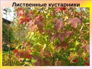 Лиственные кустарники Калина