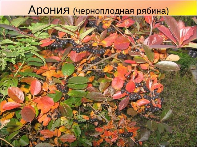 Арония (черноплодная рябина)