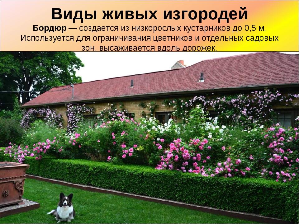 Виды живых изгородей Бордюр— создается из низкорослых кустарников до 0,5 м....