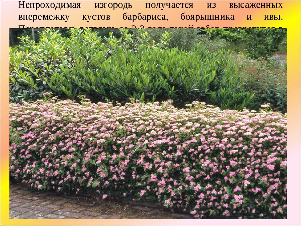 Непроходимая изгородь получается из высаженных вперемежку кустов барбариса, б...