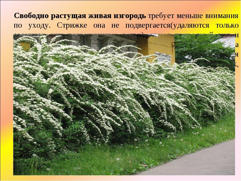 Свободно растущая живая изгородьтребует меньше внимания по уходу. Стрижке о...