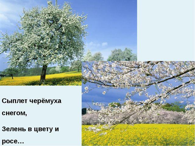 Сыплет черёмуха снегом, Зелень в цвету и росе…