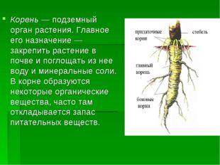 Корень — подземный орган растения. Главное его назначение — закрепить растени