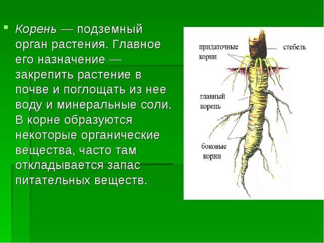 Корень — подземный орган растения. Главное его назначение — закрепить растени...
