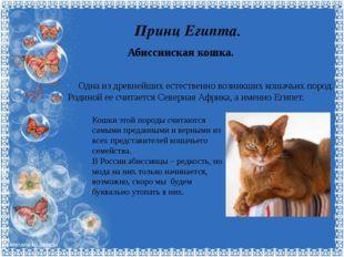 Принц Египта. Абиссинская кошка. Одна из древнейших естественно возникших кош