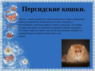 Персидские кошки. Персы – самые пушистые, самые курносые и самые знаменитые к