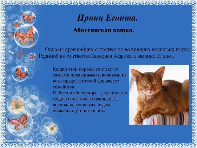 Принц Египта. Абиссинская кошка. Одна из древнейших естественно возникших кош...
