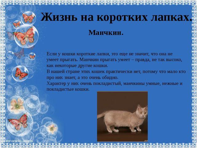 Жизнь на коротких лапках. Манчкин. Если у кошки короткие лапки, это еще не зн...