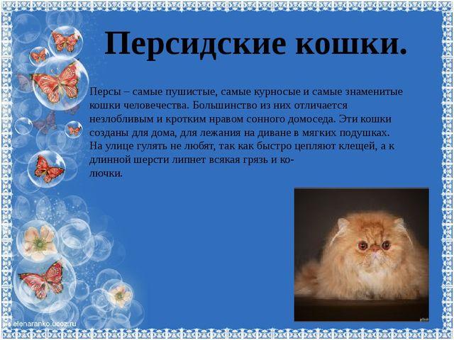 Персидские кошки. Персы – самые пушистые, самые курносые и самые знаменитые к...