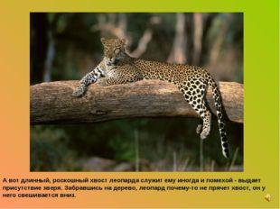 А вот длинный, роскошный хвост леопарда служит ему иногда и помехой - выдает