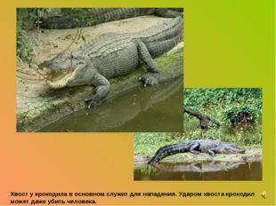 Хвост у крокодила в основном служит для нападения. Ударом хвоста крокодил мож