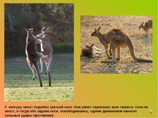 У кенгуру хвост подобен третьей ноге. Она умеет переносит всю тяжесть тела на