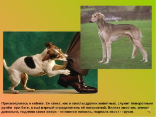 Присмотритесь к собаке. Ее хвост, как и хвосты других животных, служит поворо