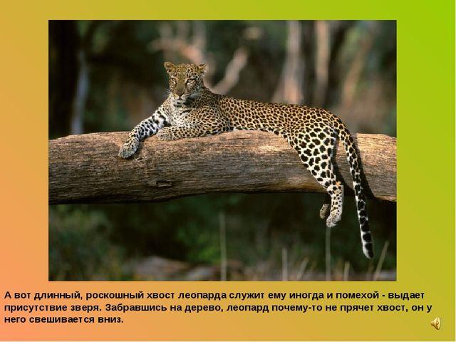 А вот длинный, роскошный хвост леопарда служит ему иногда и помехой - выдает...