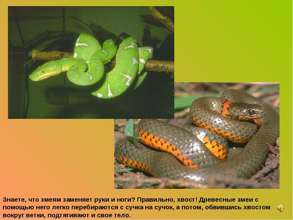 Знаете, что змеям заменяет руки и ноги? Правильно, хвост! Древесные змеи с по...