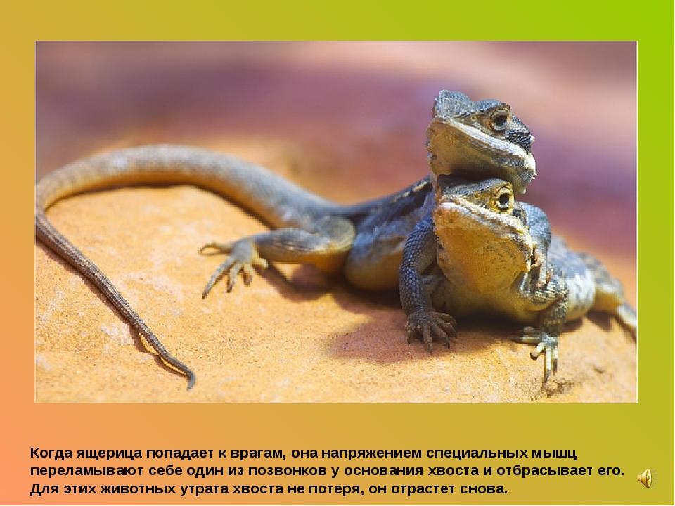Когда ящерица попадает к врагам, она напряжением специальных мышц переламываю...