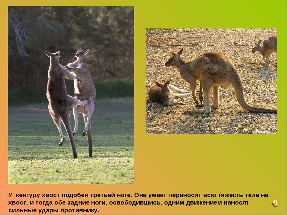 У кенгуру хвост подобен третьей ноге. Она умеет переносит всю тяжесть тела на...