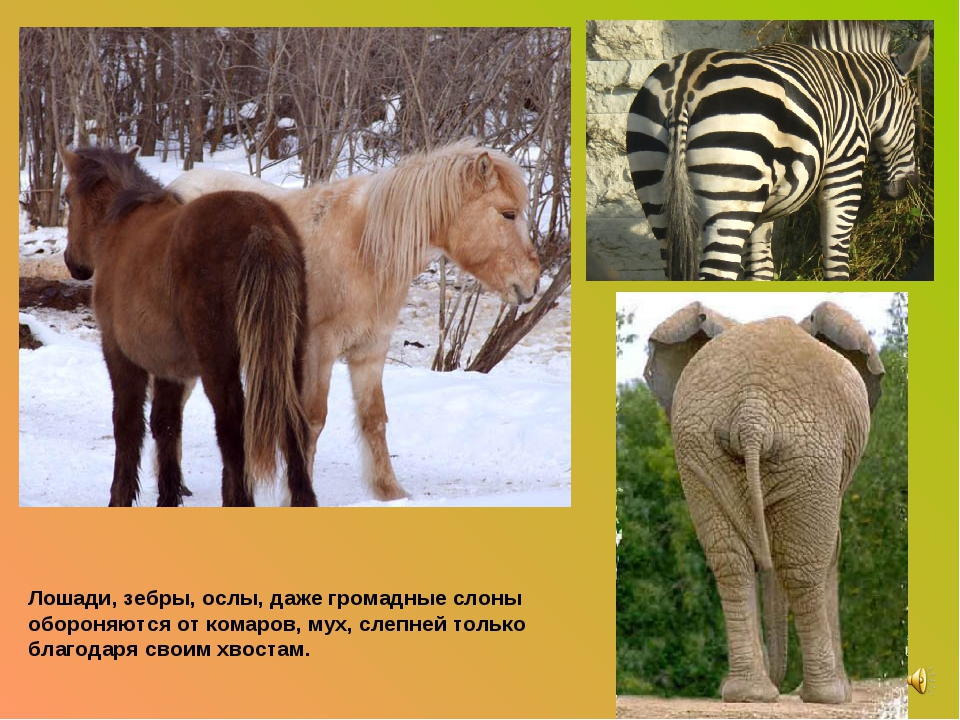Лошади, зебры, ослы, даже громадные слоны обороняются от комаров, мух, слепне...