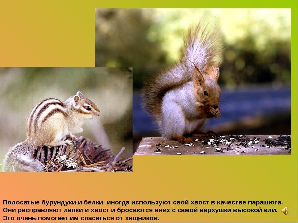 Полосатые бурундуки и белки иногда используют свой хвост в качестве парашюта....